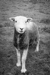 Sheep (jtatodd) Tags: sheep donegal gweedore ireland nature mirrorlesscamera sony vacation holiday animal ilce7 summer sonyfe2870mmf3556oss roadtrip fullframe sonya7 farm 10faves
