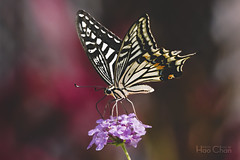 Butterflies (Hao Chan Time Sample Studio) Tags: butterfly butterflies flower pink bokeh canon macro plant simplysuperb flickrsbest nature beautiful