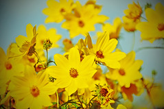 summer begins to fade (christiaan_25) Tags: flowers flower wildflower sunflower tickseedsunflower bidenspolylepis yellow petals bunch nature summer fading season sky plant