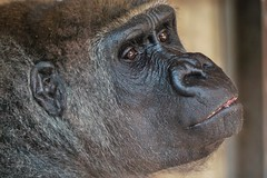 Another happy Zoo face... (frosol) Tags: sony a6000 ilce6000 praha prague zoo dyrehage gorilla selp18105g