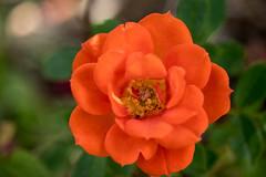 Lachsfarbene kleine Rose - Salmon pink small rose (riesebusch) Tags: berlin garten marzahn