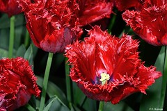Tulip (Tulipa Hybrid) (HGHjim) Tags: tulip tulipahybrid flower red tulips gardenhybrid tulipa bright