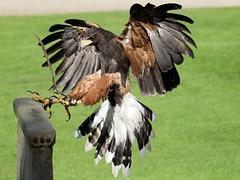 Incoming Harris Hawk (Doyleecart Photography) Tags: bishopspalace wells raptor harrishawk westcountry mendip somerset birdofprey