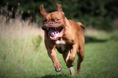 Dogue De Bordeax (laurencebissett) Tags: doguedebordeaux running dog
