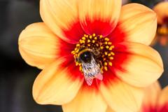 Cambridge Flowers (rafa.esteve) Tags: animal bee cambridge insect insecto naturaleza nature reinounido unitedkingdom flower