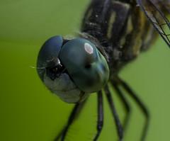 DragonFly_SAF8076 (sara97) Tags: copyright2016saraannefinke dragonfly flyinginsect insect missouri mosquitohawk nature odonata outdoors photobysaraannefinke predator saintlouis towergrovepark