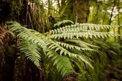 ferns (grahamrobb888) Tags: sigma20mm nikond800 fern green woods birnam trees