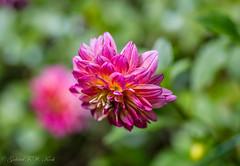 Just Delightful (Gabriel FW Koch (fb.me/FWKochPhotography on FB)) Tags: beauty pretty beautiful dalia petals garden canon telephoto 100mm lseries eos dof bokeh