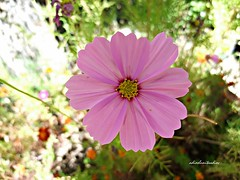 Como una acuarela natural. 002 (adioslunitaadios) Tags: cosmos florrosa ptalosrosa plantasyflores macro fujifilm