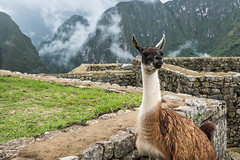 Lama Machu Picchu (t conway) Tags:
