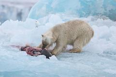 Polar Bear on a recent kill at Negribreen S24A0522 (grebberg) Tags: glacier spitsbergen svalbard july 2016 polarbear ursusmaritimus ursus bear mammal negribreen prey