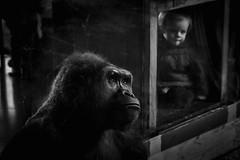 16/366 ponder (sullivanj487) Tags: 365 366 nikon d7200 gorilla black white blackandwhite monochromatic monochrome ponder eyes watch