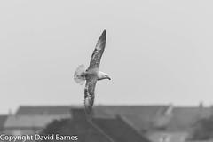 Fulmar (Wild About.......) Tags: 1d4 birds british fauna fulmar fulmarusglacialis nature naturephotography northumberland uk unitedkingdom wildlife blackandwhite bw