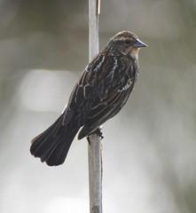 Golden-crowned Sparrow (glenbodie) Tags: glen bodie glenbodie dncb serpentine 201417 goldencrowned sparrow