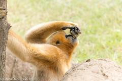 _MGL9382.jpg (shutterbugdancer) Tags: fortworthzoo primate whitecheekedgibbon