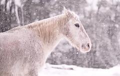 caballo1 (Dani Canestrari) Tags: caballo horse naturaleza nieve snow snowing magia paisaje patagonia cuento salvaje ruta invierno