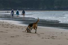My beagle strolls along the shoreline (frankshepherd2) Tags: natur nature landscape scenery waves water ocean seashore shoreline coastline coast sea sand beach animal pet hounddog hound dog beagle