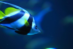 Stripes (Rajavelu1) Tags: fish aquarium singapore colours art aroundtheworld creative canon6d