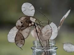 "MacroMonday ""Handle with care"" (mckernanmargaret) Tags: macromonday handle with care seed head lunaria money plant silver dollar"