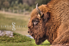 Highland/Kincraig Wildlife Park (simonjollyphotography) Tags: simonjollyphotography simon jolly photography photographer sony a77 slt scotland uk outside highland kincraig wildlife park nature animals cute visitscotland bison