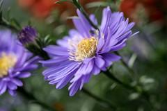 Herbstaster - New England aster or michaelmas daisy (riesebusch) Tags: berlin garten marzahn