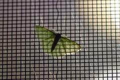 Synchlora aerata (severalsnakes) Tags: missouri saraspaedy sedalia bug insect moth synchloraaerata wavylinedemeraldmoth