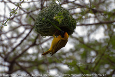 "Village Weaver • <a style=""font-size:0.8em;"" href=""http://www.flickr.com/photos/56545707@N05/8365437094/"" target=""_blank"">View on Flickr</a>"