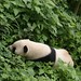 Giant Panda in dense vegetation
