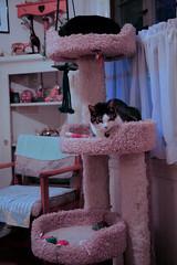 Looks Like I Need One More Cat (Brett A. Fernau) Tags: cats pets cat hedge cattree quintessential quint deadeyebart brettfernau c5d