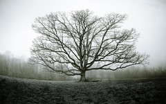 The Largest Tree in Loudoun (ep_jhu) Tags: old trees winter panorama naturaleza tree fall nature nova fog canon arbol virginia unitedstates farm bare branches foggy dry va 7d dcist invierno leafless majestic viejo loudoun purcellville 16shot canon7d