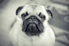 Nah! (TheOtherPerspective78) Tags: portrait dog baby macro cute face closeup canon puppy funny gesicht mood close head expression pug hund nah facial stimmung mops carlino kopf herzig welpe miene ausdruck gesichtsausdruck lieb ss ef5014 theotherperspective78