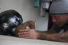 (Taz Romagna) Tags: dog love puppy bostonterrier sleep sleepy bostonterrierpuppy redbostonterrier brownbostonterrier
