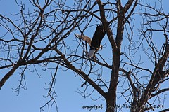 2013_01_26_2768_upd (dthrog00) Tags: clinton baldeagle iowa mississippiriver birdinflight 60d 70200f4lusm ef14xiiteleconverter