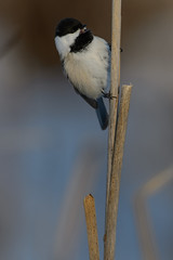 Chickadee_40376.jpg (Mully410 * Images) Tags: winter snow cold bird birds birding cattails chickadee birdwatching blackcappedchickadee birder tcaap ahats burdr ardenhillsarmytrainingsite