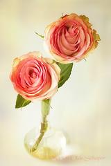 Rose (Omasjon) Tags: flowers light green texture nature water fleur rose canon gold flora nederland roos single bloem creativephotocafe besteverexcellencegallery vigilantphotographersunite vpu2 vpu3 vpu4 vpu5 vpu6 vpu7 vpu8 vpu9 vpu10