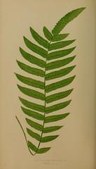 n89_w1150 (BioDivLibrary) Tags: ferns smithsonianinstitutionlibraries bhl:page=34992994 dc:identifier=httpbiodiversitylibraryorgpage34992994