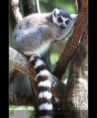 OMG! I THINK I'M SUFFERING FROM MONDAY BLUES! LOL! :: HDR (:: Artie | Photography :: Happy 2016 !) Tags: photoshop canon rainforest australia wideangle lemur tropical handheld cairns ef hdr 70200mm artie ringtailedlemur cs3 3xp farnorthqueensland photomatix f28l tonemapping tonemap 5dmarkii 5dm2