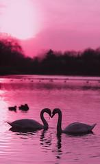LOVE (HOWLD) Tags: pink sunset love canon day ducks valentine sensual international swans valentines universal simple valentinesday supernatural confidential howd oaklandlake oaklandgardens 5dmiii howardlaudesign