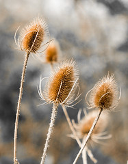 Teasels-3416 (WendyCoops224, Bit busy, here off & on a while) Tags: canon eos bokeh study teasel spikey fragile brittle 600d 100400mml