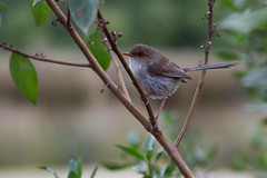 Superb Fairy-wren 2013-02-09 (IMG_1016) (ajhaysom) Tags: australia lorne australianbirds superbfairywren maluruscyaneus lemonadecreekcottages
