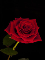 Single Rose (Giuseppe Baldan) Tags: