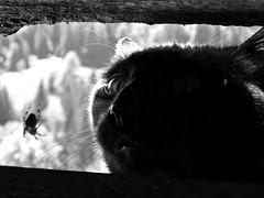 Tirili Sitting In The Gutter,  Having A Good Chitchat With Neighbour Victoria (AincaArt) Tags: cat schweiz switzerland spider suisse victoria spinne katze gutter svizzera berneroberland berneseoberland regenrinne svizra mungga tirili canonixus80is tirilisittinginthegutterhavingagoodchitchatwithneighbourvictoria aincaart
