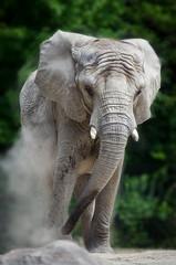 Young Elephant (Justin Lo Photography) Tags: life elephant nature animal animals zoo big wildlife mammals