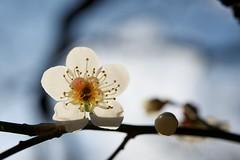 Japanese apricot / Ume (masaxmasa) Tags: flower tokyo shinjuku 新宿御苑 東京 花 ume 新宿 shinjukugyoen 梅 japaneseapricot sognidreams macromagister