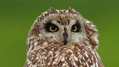 Coruja-do-banal (Jose Viana) Tags: bird portugal birding ave birdwatching canon100400 shortearedowl asioflammeus joseviana canon7d