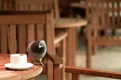 It's a coffee time (munhitsu) Tags: park uk london animal europa europe unitedkingdom pigeon what anglia hollandpark gob londyn goab