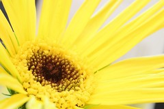 Sunshine Yellow (Steven H Scott) Tags: macro up yellow nikon close gerbera 105 sigms stevenscott thebestofday gnneniyisi d7000 nikonflickraward