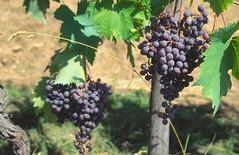 Tuscan Red Wine Vine (JOWIC) Tags: italy vineyard wine vine alcohol tuscany redwine