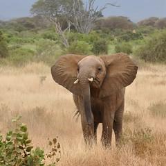 Loxodonta africana - African Bush Elephant or African Savanna Elephant -  Éléphant de savane d'Afrique - 19/02/10 (Philippe_Boissel) Tags: loxodontaafricana africanbushelephant africansavannaelephant éléphantdesavanedafrique proboscidea elephantidae éléphant mammals mammifère 0453c afrique kenya tsavo tsavoest léléphantdesavanedafrique