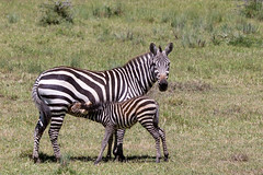 Baby Plains zebra suckling from it's mother (Ring a Ding Ding) Tags: kenya ngc solio motherlove laikipia 2013 equusquagga